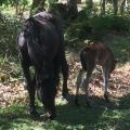 New Forest pony with her foal